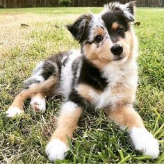 Specially colored Aussie, blue Merle Aussie puppies, cute and beautiful puppy pictures - dyed - - Hunde - Super Cute Puppies, Cute Baby Dogs, Cute Dogs And Puppies, Cute Baby Animals, Doggies, Small Puppies, Small Dogs, Cutest Dogs, Adorable Puppies