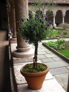 Lavender topiary at The Cloisters