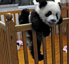 baby animals | panda | escape attempt