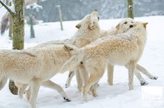 Snow brings freshness to animals at Woodland Park | Watching Our ...