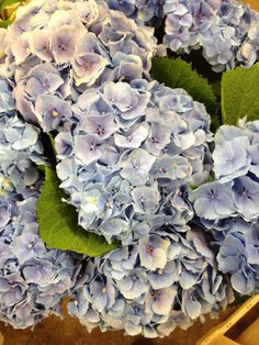 Hydrangea Magical Diamond...Sold in bunches of 10 stems from the Flowermonger the wholesale floral home delivery service.