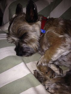 Betsy one of our beautiful cairn terriers