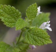 5 Great Herbs for a Shade Garden: Lemon Balm