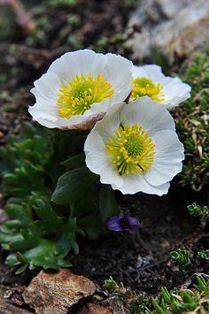 Glacier Crowfoot: Ranunculus glacialis [Family:Ranunculaceae] Rock Flowers, Flora Flowers, Botanical Flowers, Wild Flowers, Beautiful Flowers, Rock Garden Plants, Lawn And Garden, Herb Garden, Wildwood Flower