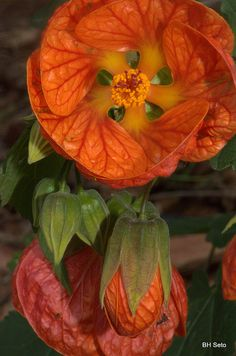 ✯ Chinese Lantern… how beautiful are these could be one of my new favorite flowers… of course I do love flowers …Great for hanging pots. Unusual Flowers, Unusual Plants, Amazing Flowers, Beautiful Flowers, Beautiful Gorgeous, Hibiscus, Chinese Lanterns, Orange Flowers, Horticulture