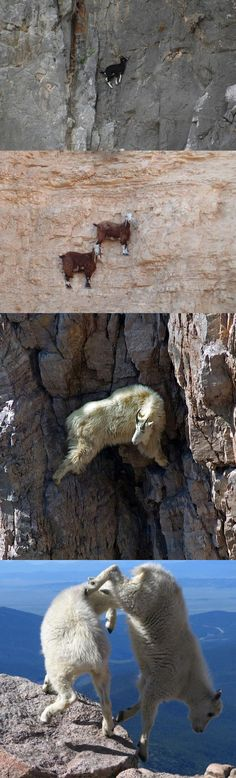 Because I'm a capricorn and must remember that I have very good footing when climbing mountains.  Goats doing what they usually do…