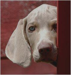 Shy Weimeraner pup.