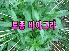 한련초  :  정력증강, 흰머리를 검게, 탈모 등에 좋은 약초 Health Fitness, Medical, Herbs, Diet, Healthy, Plants, Food, Health, Medicine