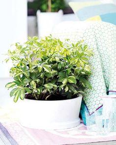 planta tropical de nombre Schfflera
