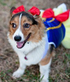 My Corgi, Zoey, wearing her Snow White Halloween costume.