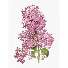 Flower Clipart 'Pink Lilac' Botanical Illustration Art Instant... ($1) ❤ liked on Polyvore featuring home, home decor, wall art, flowers, flower home decor, blossom wall art, pink flamingo wall art, pink wall art and pink home decor