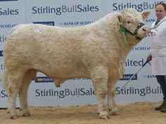 Stirling Bull Sales October 2014: Charolais trade tops 22,000gn