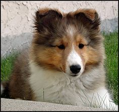 Shetland Sheepdog Breeders - Canada's Guide to Dogs Animals And Pets, Baby Animals, Cute Animals, Pregnant Dog, Rough Collie, Shetland Sheepdog, Cool Pets, Sheltie, New Puppy