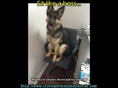Educating Your German Shepherd to Sit -- GSD  Images, Tips and Tricks
