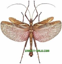 Insect-Sale.com - Heteropteryx dilatata - Heteropteryx-dilatata-M.jpg - insecte, insectes, papillon, papillons, insect, insects, butterfly, butterflies, bugs, beetles, moths, coleoptera, lepidoptera, entomology
