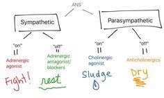 adrenergic cholinergic flow chart: fight, rest, sludge, dry