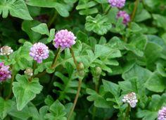 Persicaria runcinata, goede bodembedekker, bloeit langdurig, snelle groeier, is zeer makkelijk te snoeien (geen woekeraar)