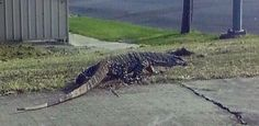 Giant goanna spotted strolling through Aussie street