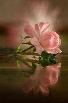 Pink Rose - Reflection