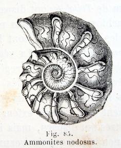 Spiral shell Side Boob Tattoo, Tattoo Fails, Schwertkunst Online, Tattoos Motive, Shell Drawing, Sea Art, Expo, Bird Art, Vintage Images