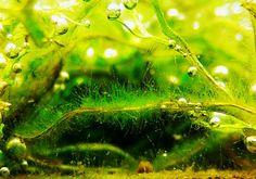 Alga tájékoztató, alga elleni védekezés Green Aqua Seaweed