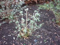 Your pruned #buddleia will look like this