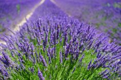Using lavender essential oil in an aromatic bath is sensual, relaxing, purifying and just fun. English Lavender essential oils and plants Lavender Fields, Lavender Oil, Lavender Plants, Lavender Bush, Provence Lavender, Lavender Garden, Lavender Flowers, Flowers Nature, Perennials