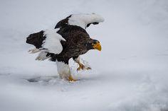 #Steller_Sea_Eagles  -   I named this image - (Tricky road for a Steller Eagle) - copyrighted - bruna@thrumyafricanlens.co.za