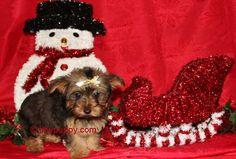 Little Yorkie Boy, Golden Sable Yorkshire Terrier, Gold yorkie