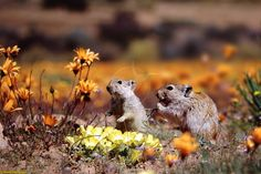 Photograph of Whistling Rats (Parotomys brantsii) feeding among spring flowers in Namaqualand. African Animals, African Style, Amazing Flowers, Natural World, Tanzania, Rats, Mammals, South Africa, Followers