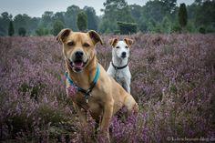 #Terrier in der #Heide. #Südheide