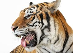 Animal | File Name : Animal Tiger HD