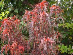 Acalypha wilkesiana 'Raggedy Ann'  (Acalypha wilkesiana 'Raggedy Ann')