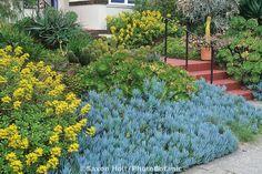 Senecio mandraliscae, Sedum dendroideum, Aeonium and Cactus succulents in front yard garde