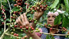 Guatemala's coffee crop hit by killer fungus