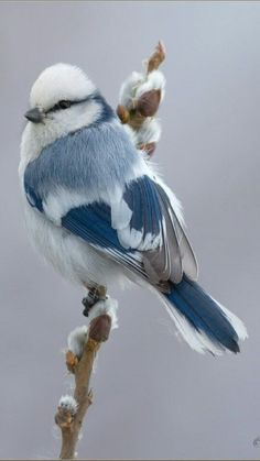 Azure Tit Bird is found in Russia and central Asia. What a gorgeous bird!