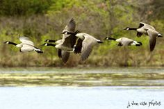 on the wing ~ Canada Geese ~ Branta canadensis ~ Huron River, Michigan | by j van cise photos