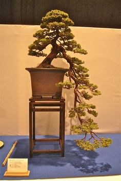 bonsai SUPER LOWcascade, looks ancient & defies logic. This tree is magical to me