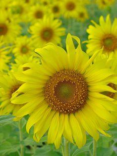~~Beauty of Love ~ Sunflowers by Thai Jasmine~~