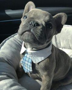 Dressed Like Gentleman, French Bulldog Puppy