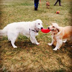 The frisbee is MINE! - Karner Farm Dog Park - West Bloomfield, MI - Angus Off-Leash