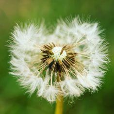 Dandelion, Flowers, Plants, Photography, Dandelions, Flora, Plant, Royal Icing Flowers, Flower