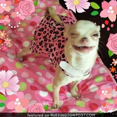 Winkin' Chihuahua - http://www.ruffingtonpost.com/winkin-chihuahua/