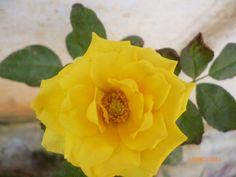 Yellow flower my captured pic