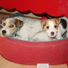 Love my Jack Russell Terriers