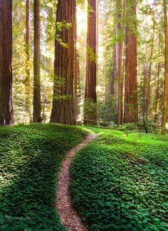 Come to Redwood National Park in Southern California and find trees that are…