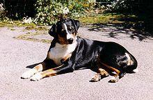 Appenzeller Sennenhund - A.k.a. Appenzeller, Appenzell Cattle Dog, Appenzeller Mountain Dog - Switzerland - Herder