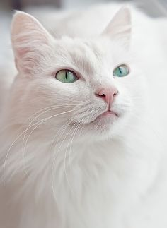 Albino cats are not simply white cats. Here's everything you need to know about albino kitties. Cute Cats And Kittens, Kittens Cutest, Ragdoll Kittens, Tabby Cats, Funny Kittens, Bengal Cats, Siamese Cats, Pretty Cats, Beautiful Cats