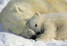 Polar Bears - Fotobehang