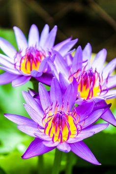 Water lilies by WeeLing wl, via Flickr